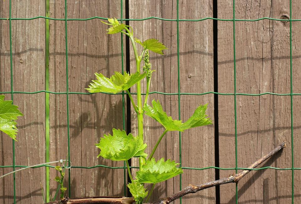 plot s vinnou révou